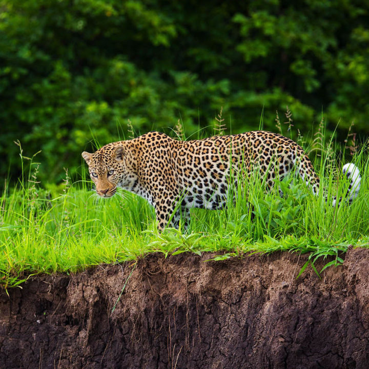 nsolo-lodge-zambia-in-style-tours-safari-packages-lodges-south-luangwa-national-park-wildlife