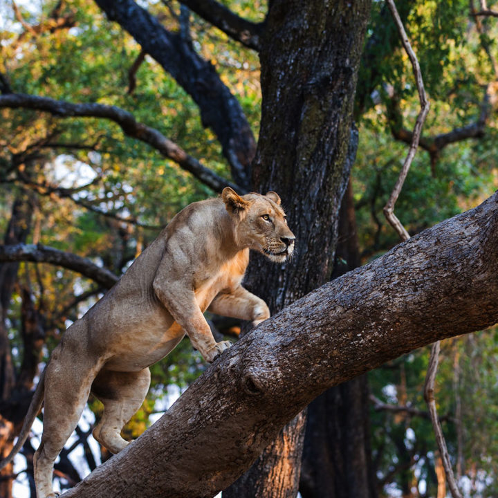 nsolo-lodge-zambia-in-style-tours-safari-packages-lodges-south-luangwa-national-park-wildlife-safari-lion-climbing-tree