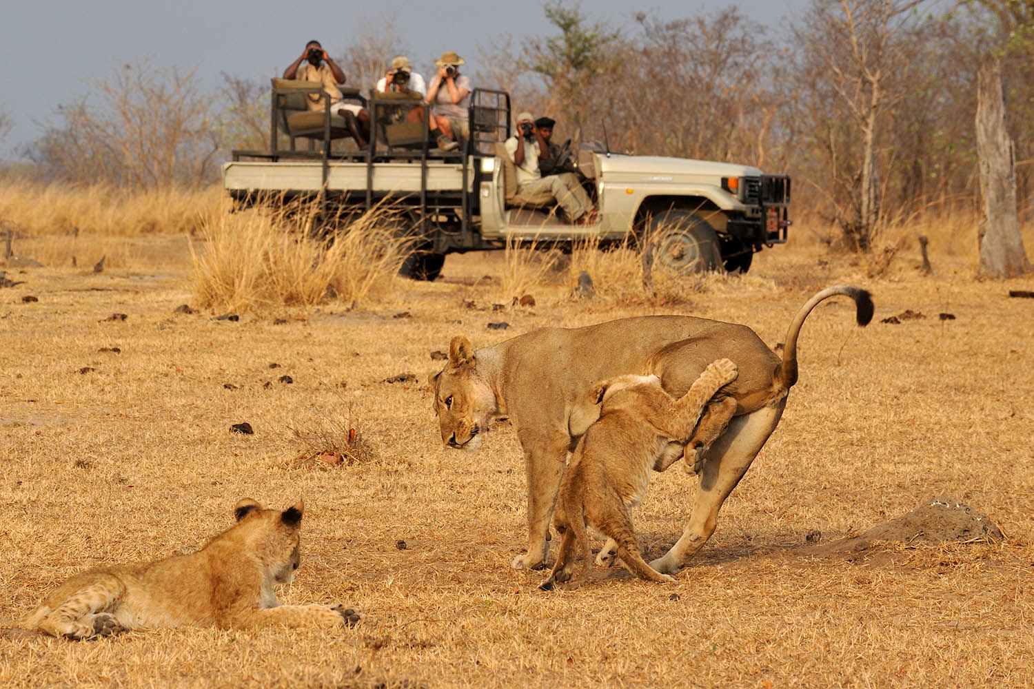 tafika-camp-lodge-zambia-in-style-tours-safari-packages-lodges-nsefu-sector-south-luangwa-national-park-driving-lions