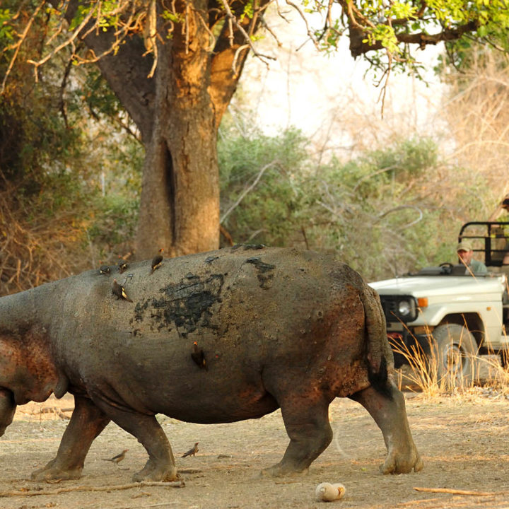 tafika-camp-lodge-zambia-in-style-tours-safari-packages-lodges-nsefu-sector-south-luangwa-national-park-game-drive-hippo