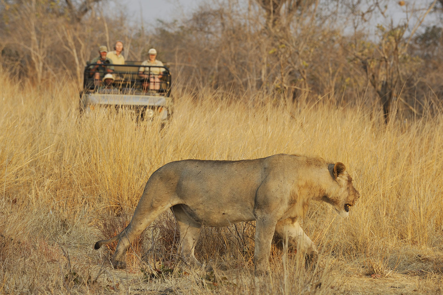 tafika-camp-lodge-zambia-in-style-tours-safari-packages-lodges-nsefu-sector-south-luangwa-national-park-game-drive-lions-walking