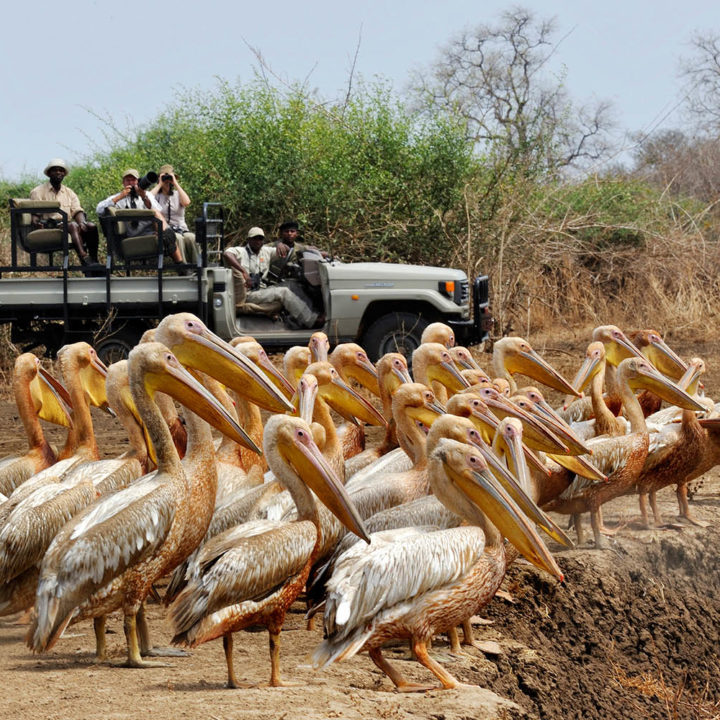 tafika-camp-lodge-zambia-in-style-tours-safari-packages-lodges-nsefu-sector-south-luangwa-national-park-game-drive-pelicans