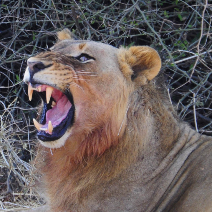chikunto-lodge-zambia-in-style-safari-packages-lodges-luxury-tents-south-luangwa-lion