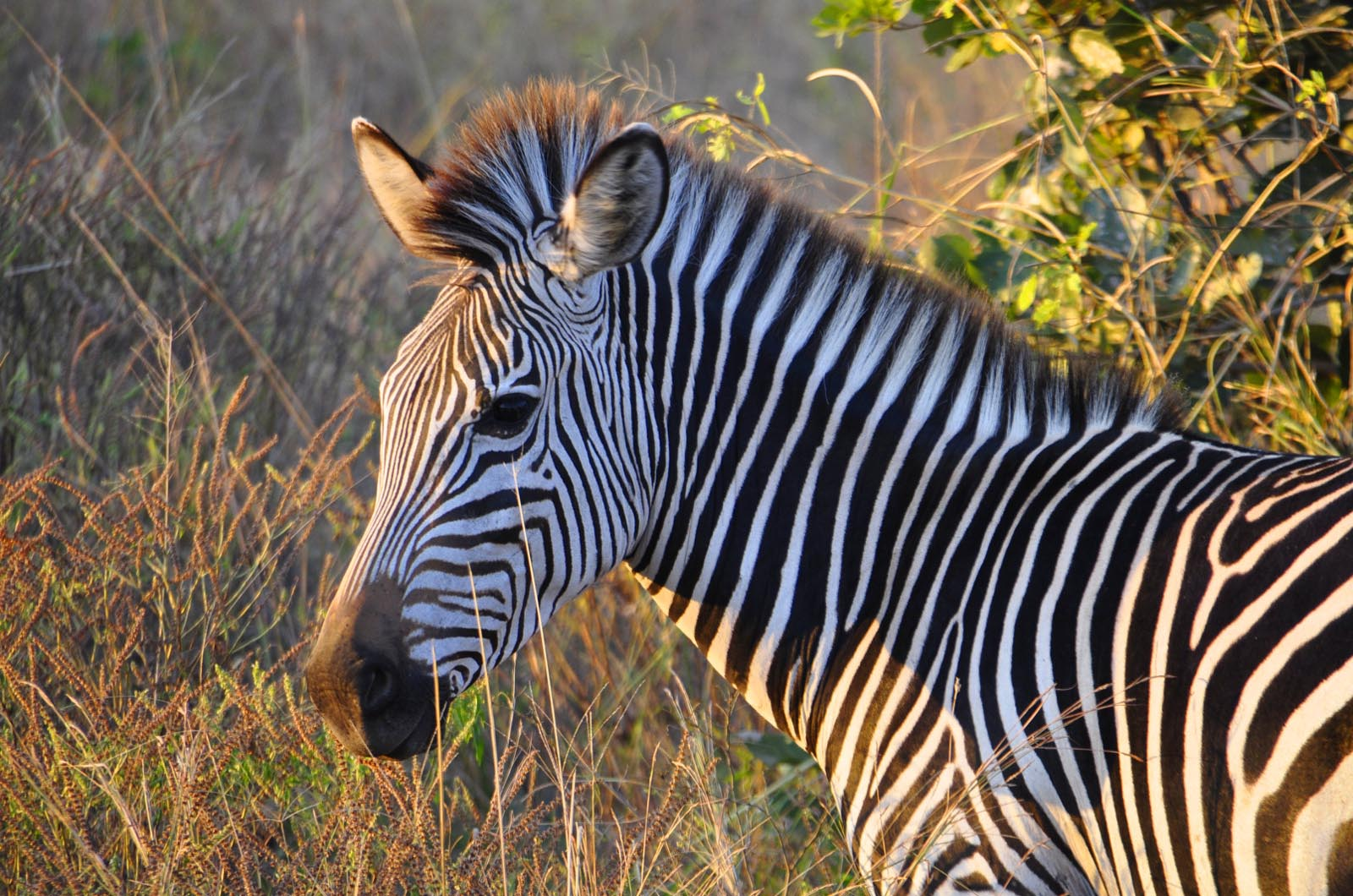 chikunto-lodge-zambia-in-style-safari-packages-lodges-luxury-tents-south-luangwa-location-game-zebra
