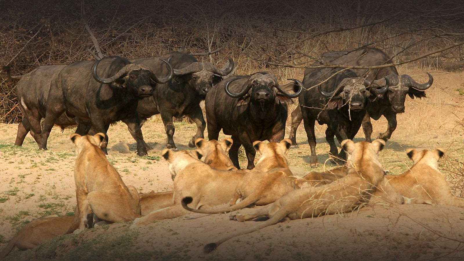 kaingo-camp-luxury-lodge-zambia-in-style-tours-safari-packages-lodges-travel-south-luangwa-national-park-water-hole-lions