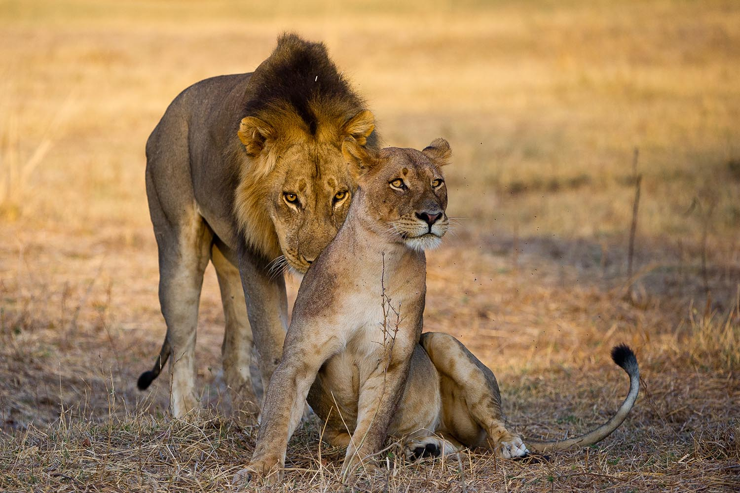 lion camp lodge-zambia-in-style-safari-packages-tours-south-luangwa-national-park-lions