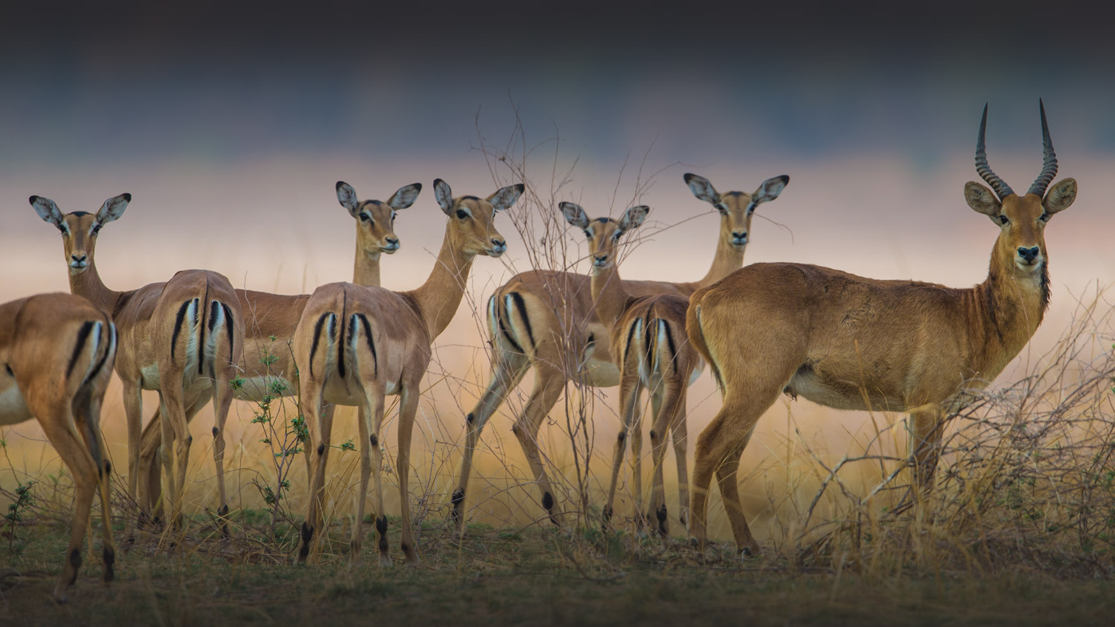 luambe-camp-lodge-zambia-in-style-tours-safari-packages-lodges-luambe-national-park-south-north-luangwa-puku-impala
