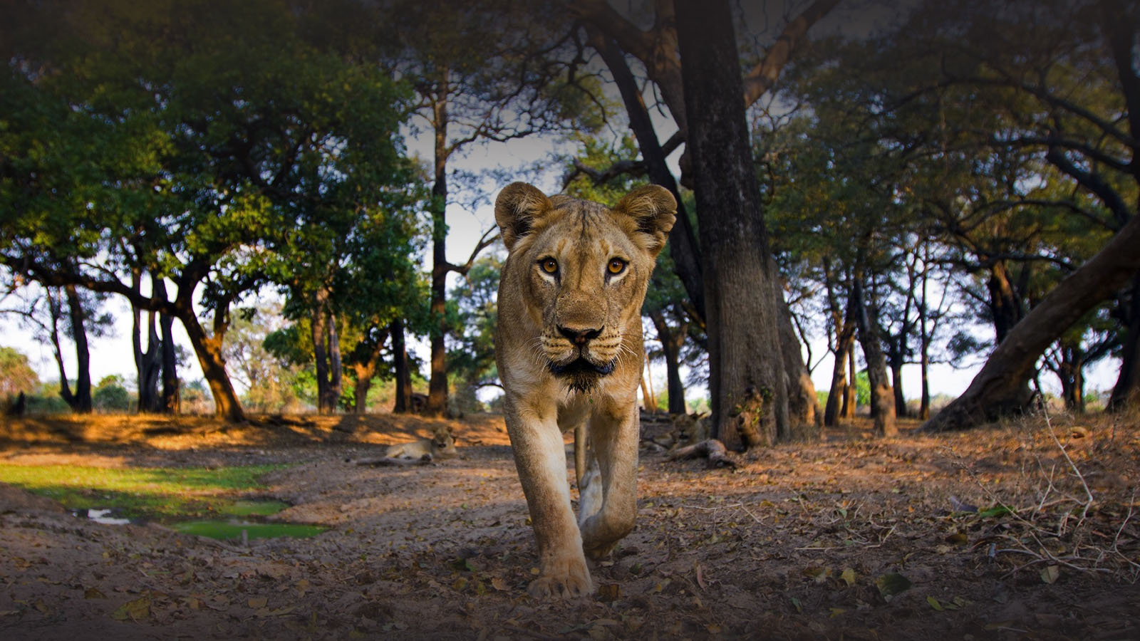 mchenja-bush-camp-lodge-zambia-in-style-tours-safari-packages-lodges-south-luangwa-national-park-lion