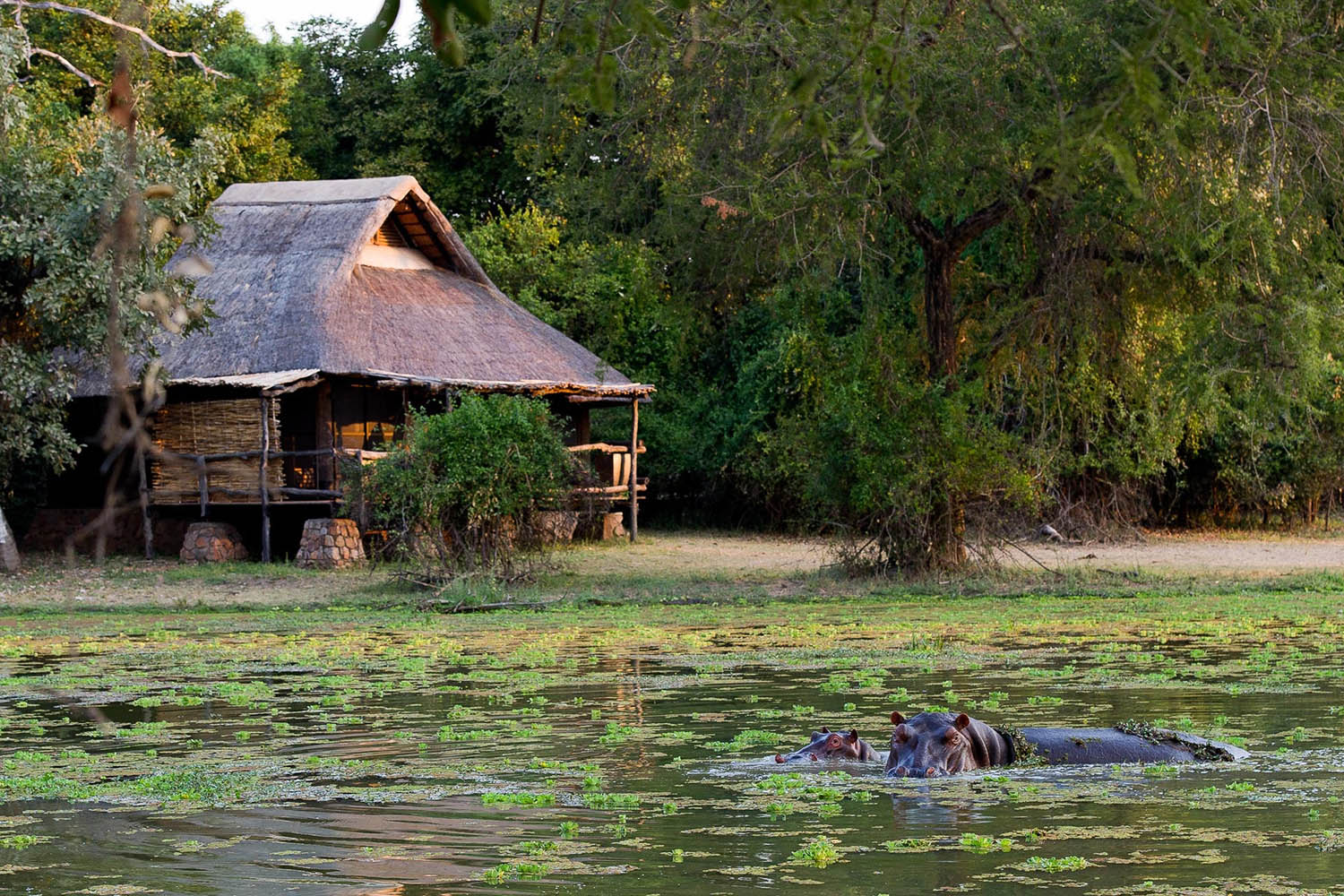 mfuwe-bush-camp-zambia-in-style-safari-packages-south-luangwa-national-park-hippo