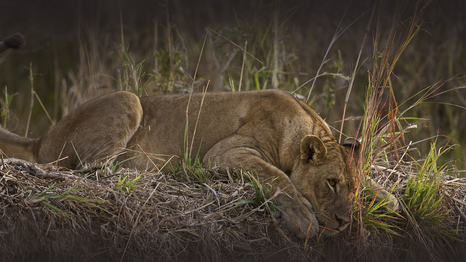 mfuwe-bush-camp-zambia-in-style-safari-packages-south-luangwa-national-park-tours-lion