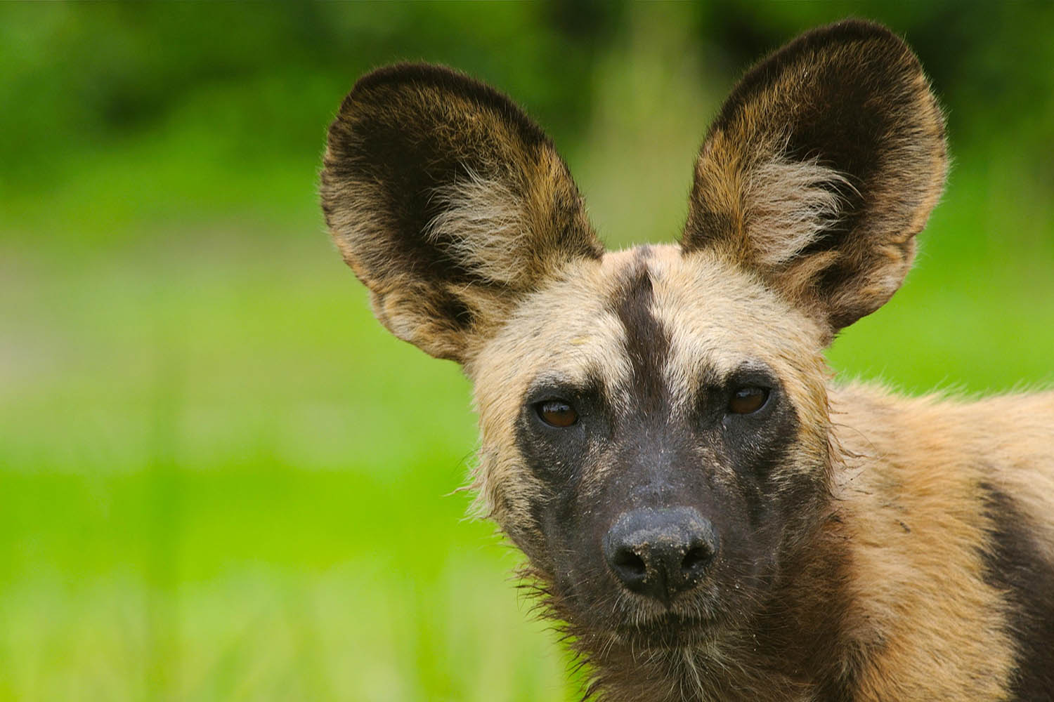 mfuwe-bush-camp-zambia-in-style-safari-packages-south-luangwa-national-park-wild-dog