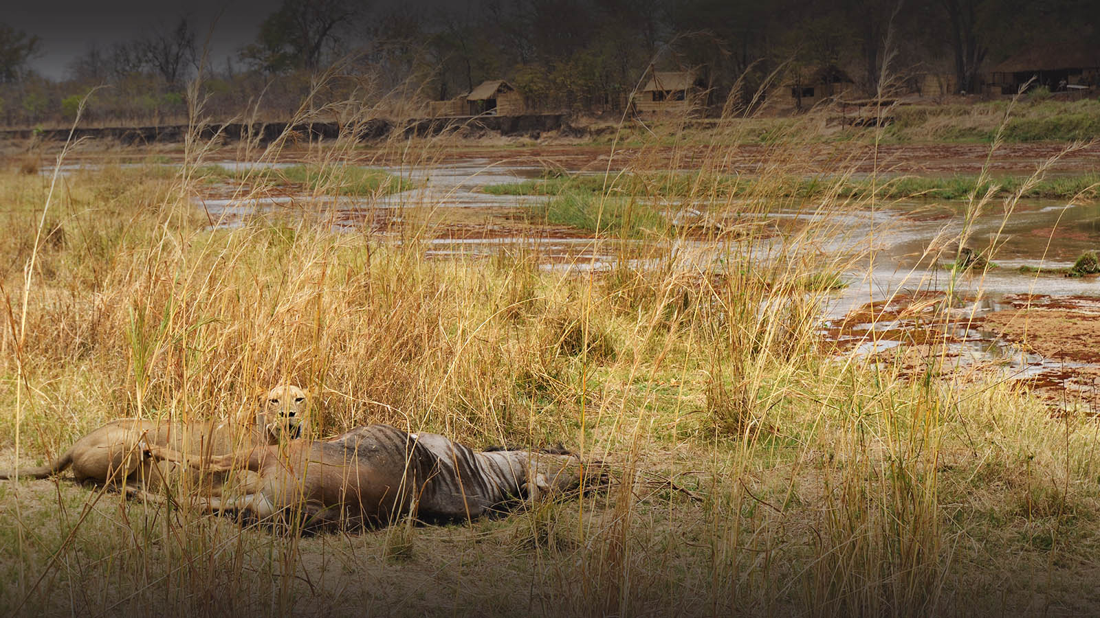 mwaleshi-camp-lodge-zambia-in-style-tours-safari-packages-lodges-explore-north-luangwa-lion-kill