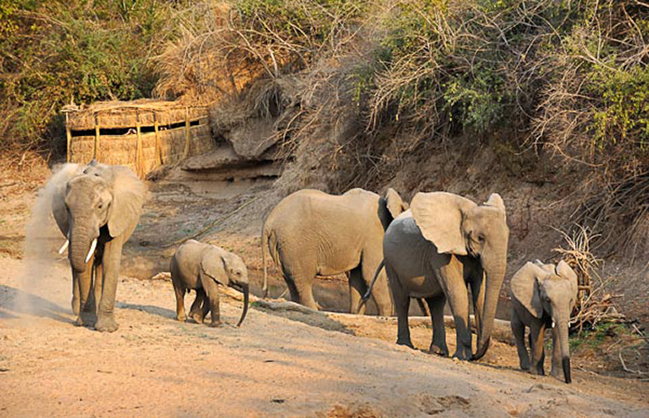 mwamba-bush-camp-lodge-zambia-in-style-safari-packages-south-luangwa-national-park-hide-elephants