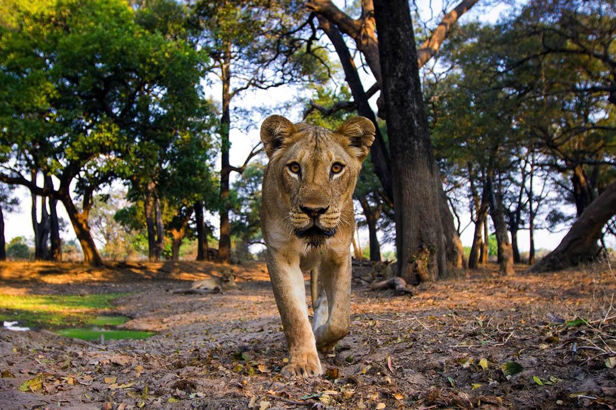 mwamba-bush-camp-lodges-photographic-adventure-tour-zambia-in-style-safari-packages-mchenja-bush-camp-south-luangwa-lion