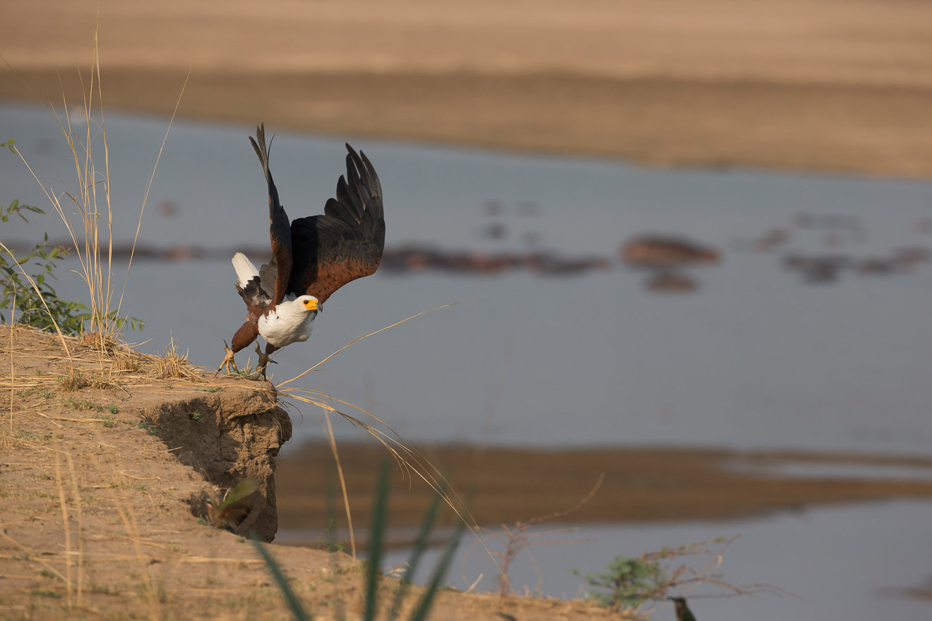 nkonzi-camp-lodge-zambia-in-style-safari-packages-lodges-explore-south-luangwa-national-park-african-fish-eagle-flying