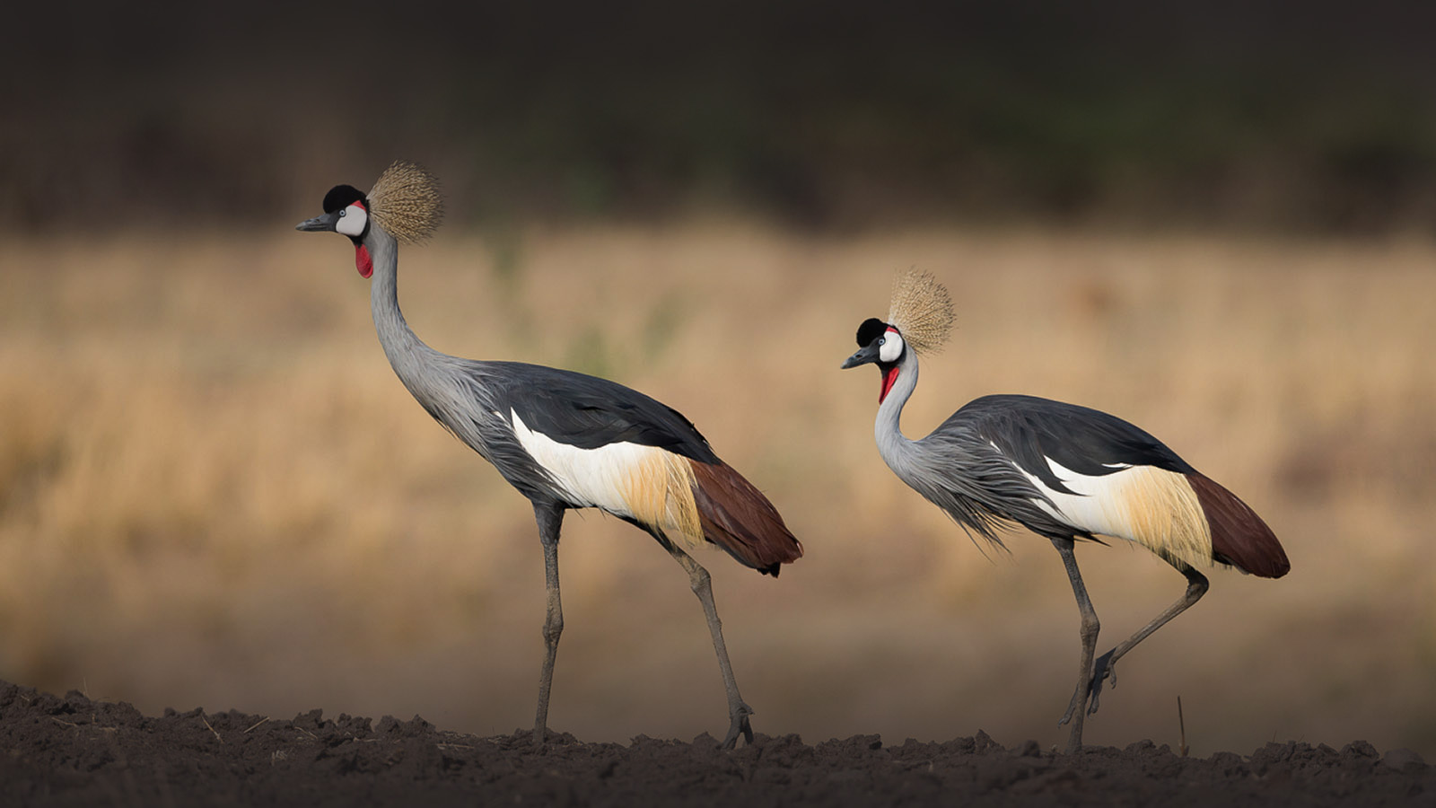 nkonzi-camp-lodge-zambia-in-style-safari-packages-lodges-explore-south-luangwa-national-park-crowned-cranes