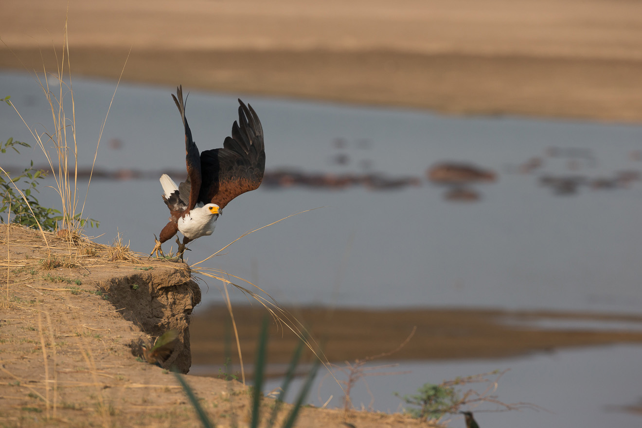 nkonzi-camp-lodge-zambia-in-style-safari-packages-lodges-exploring-south-luangwa-national-park-african-fish-eagle