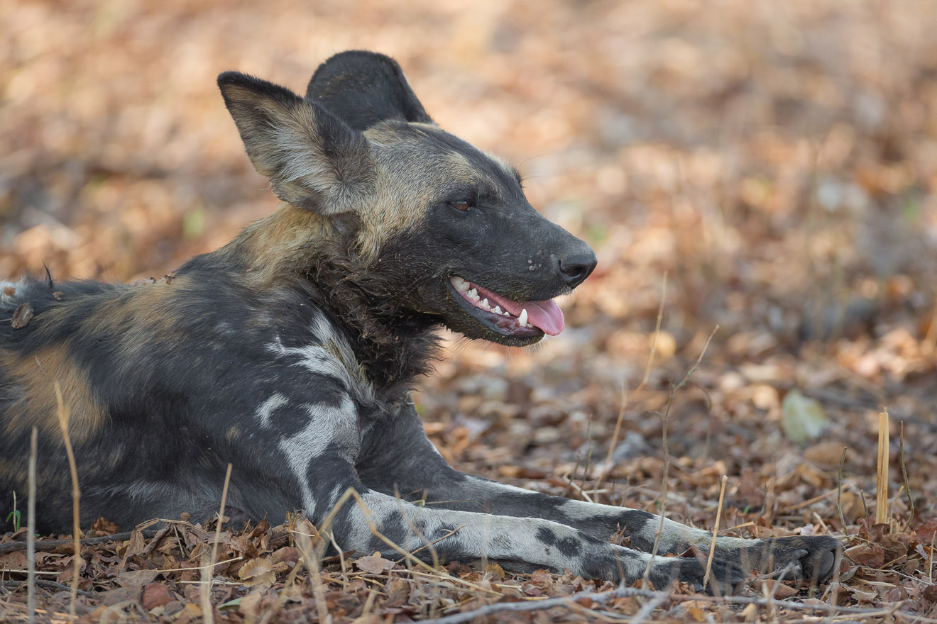 nkonzi-camp-lodge-zambia-in-style-safari-packages-lodges-exploring-south-luangwa-national-park-african-wild-dog