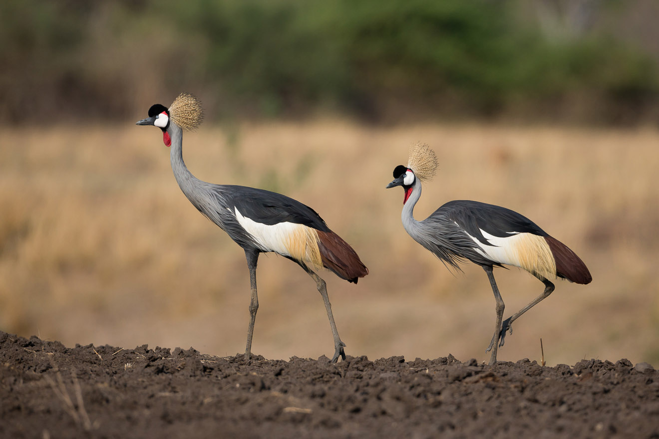 nkonzi-camp-lodge-zambia-in-style-safari-packages-lodges-exploring-south-luangwa-national-park-crowned-cranes