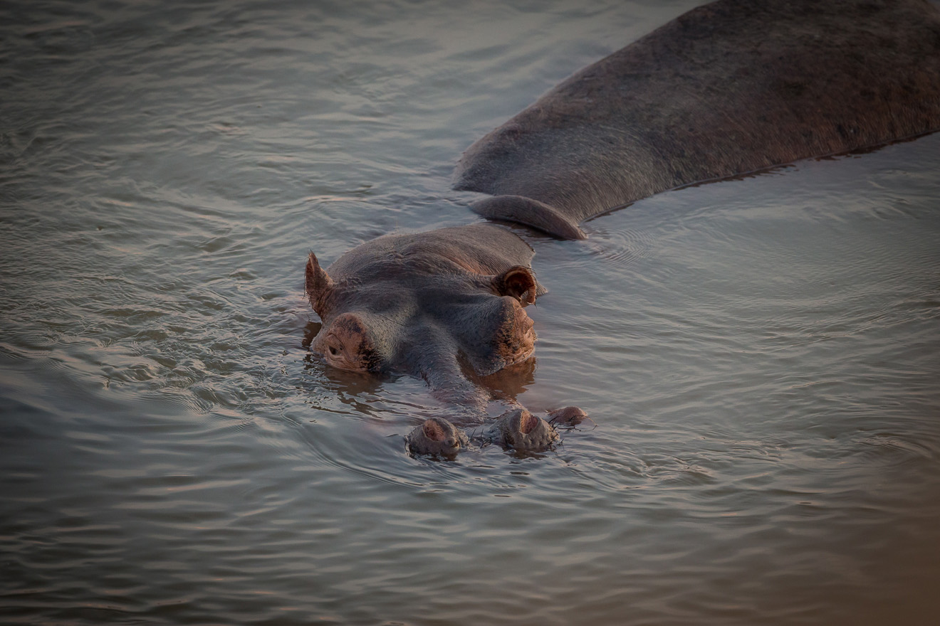 nkonzi-camp-lodge-zambia-in-style-safari-packages-lodges-exploring-south-luangwa-national-park-hippo