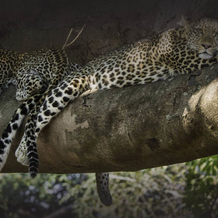 nkwali-zambia-in-style-safari-packages-south-luangwa-national-park-leopards