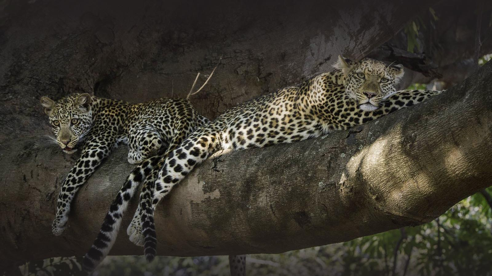 nkwali-zambia-in-style-safari-packages-south-luangwa-national-park-tree-leopards