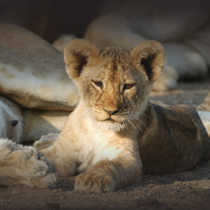 nsefu camp lodge-zambia-in-style-travel-safari-packages-lodges-south-luangwa-national-park-lion-cub