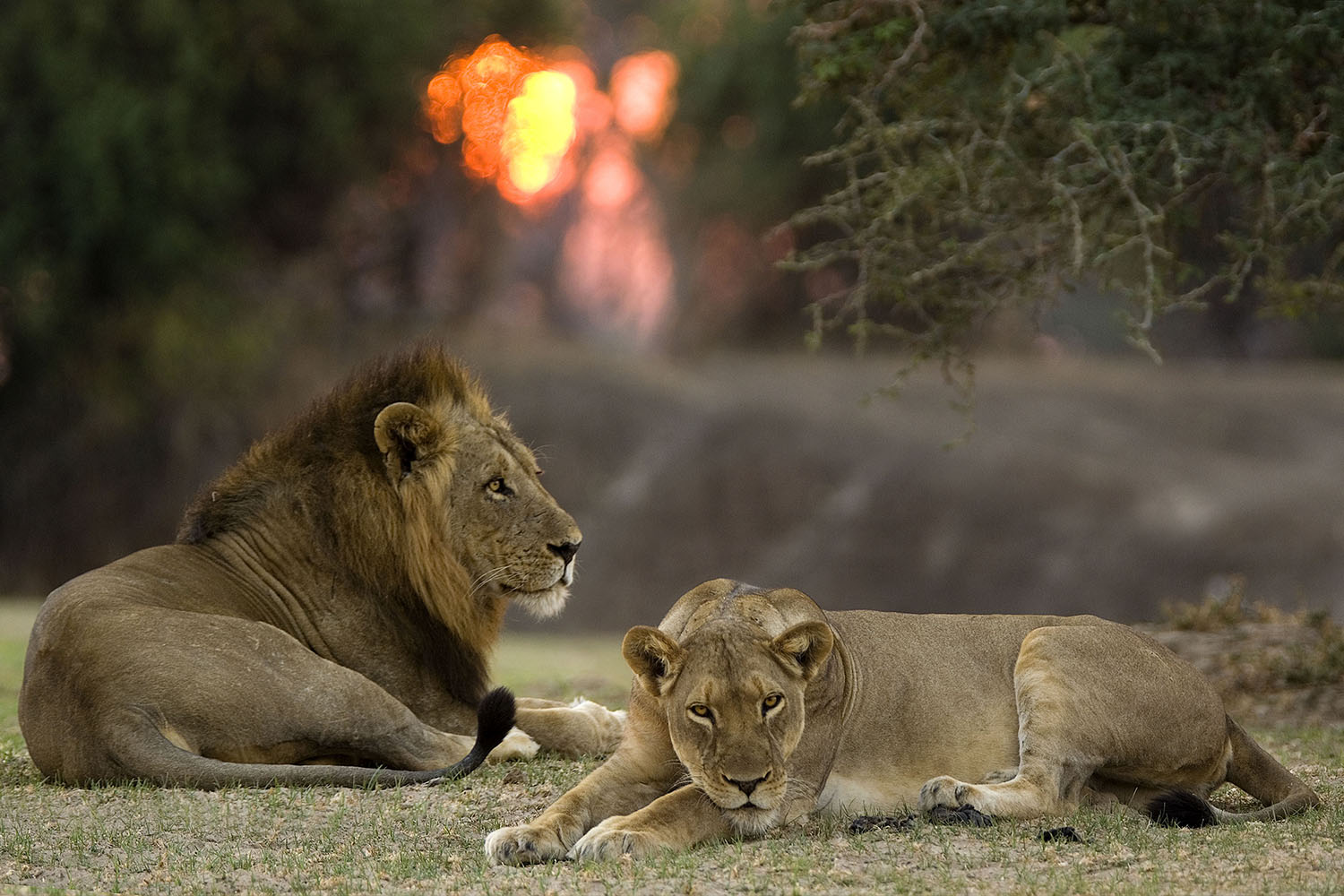nsefu camp lodge-zambia-in-style-travel-safari-packages-lodges-south-luangwa-national-park-lions