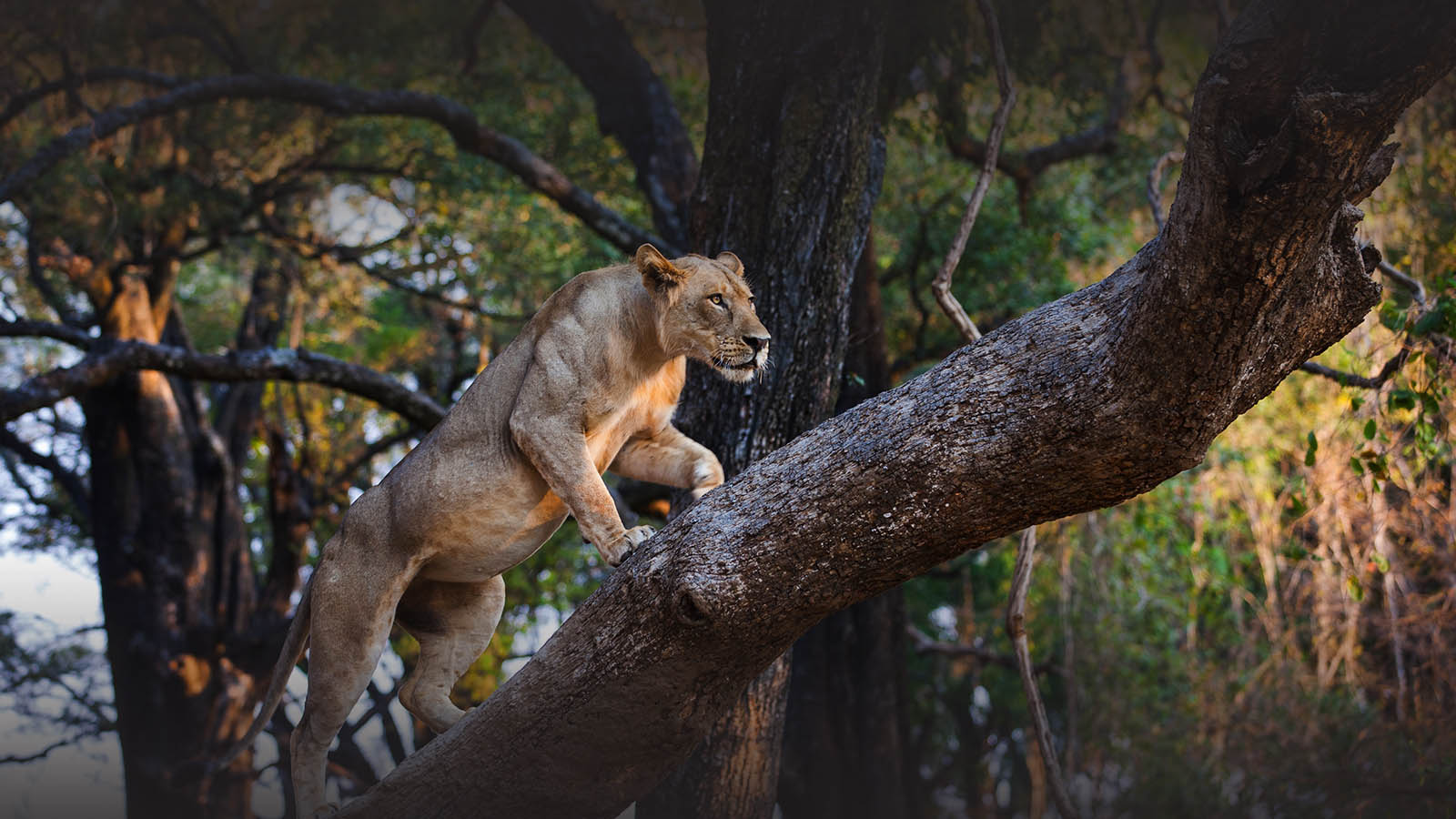 nsolo-lodge-zambia-in-style-tours-safari-packages-lodges-travel-south-luangwa-national-park-lion-tree-wildlife
