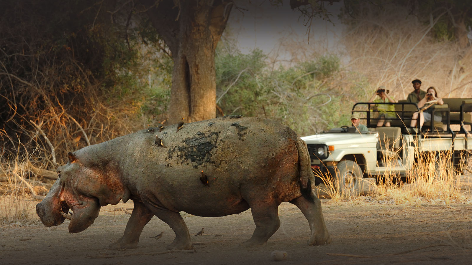 tafika-camp-lodge-zambia-in-style-tours-safari-packages-lodges-south-luangwa-national-park-game-drives-hippo
