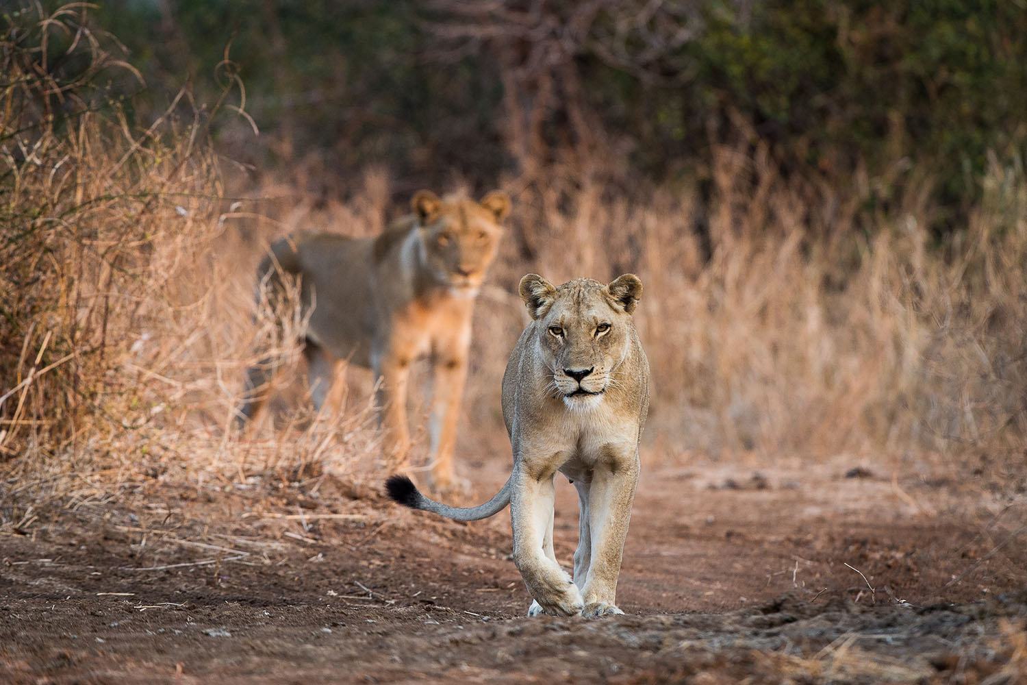 tena tena camp lodge-zambia-in-style-safari-packages-lodges-south-luangwa-national-park-lions-walking