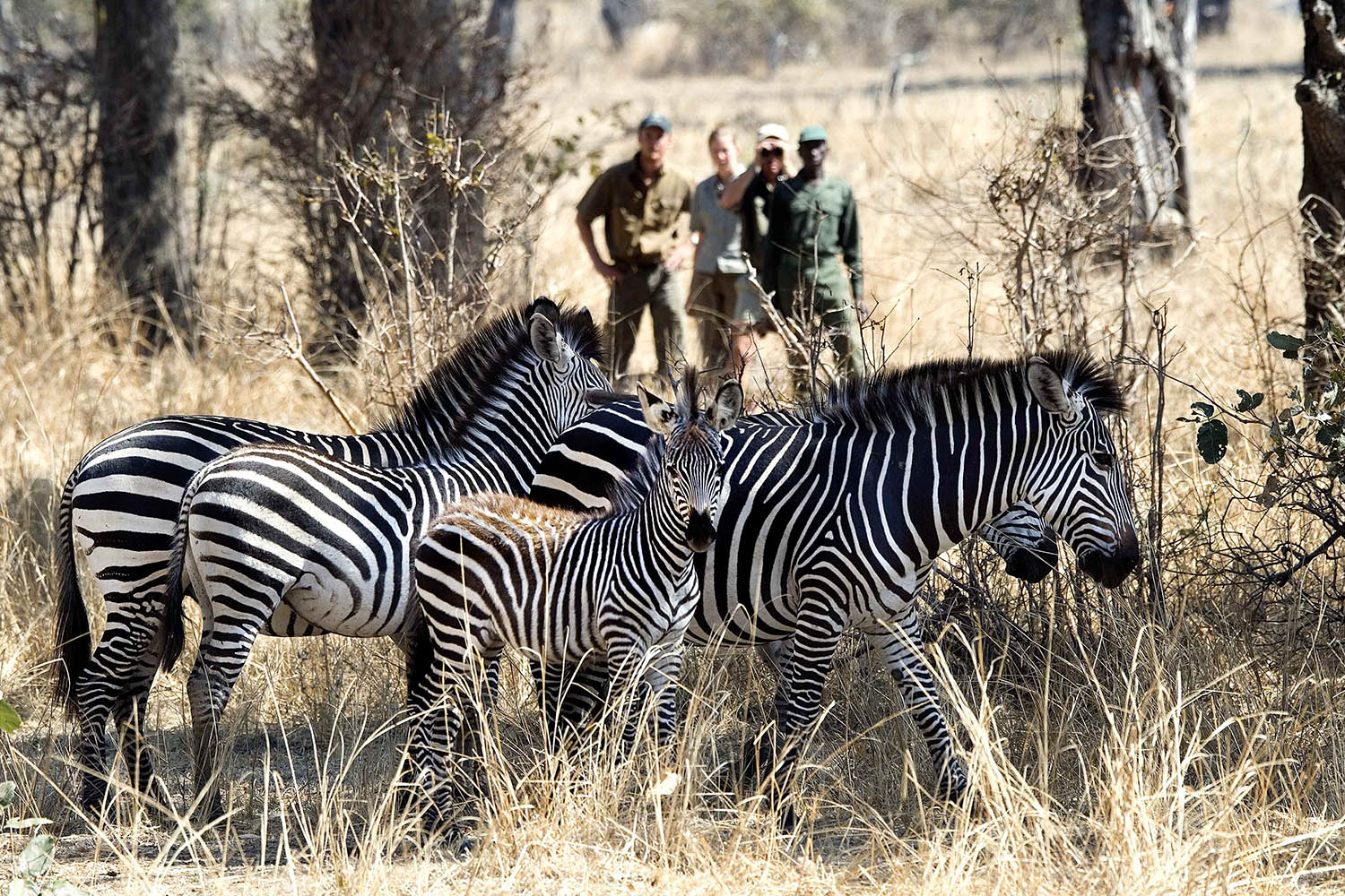 tena tena camp lodge-zambia-in-style-safari-packages-lodges-south-luangwa-national-park-zebra