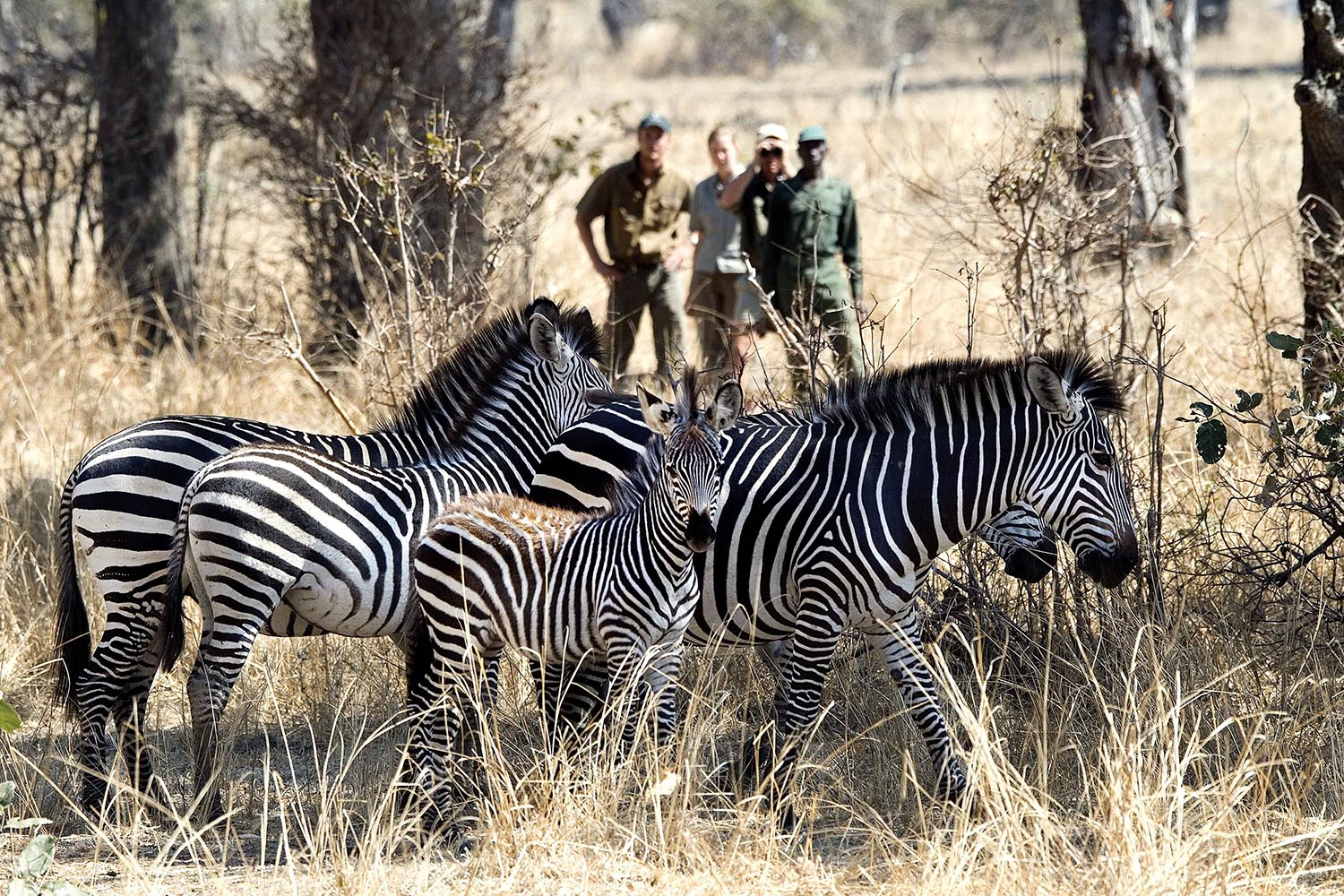tena tena camp lodge-zambia-in-style-tours-safari-packages-lodges-south-luangwa-national-park-zebra-guided-walk