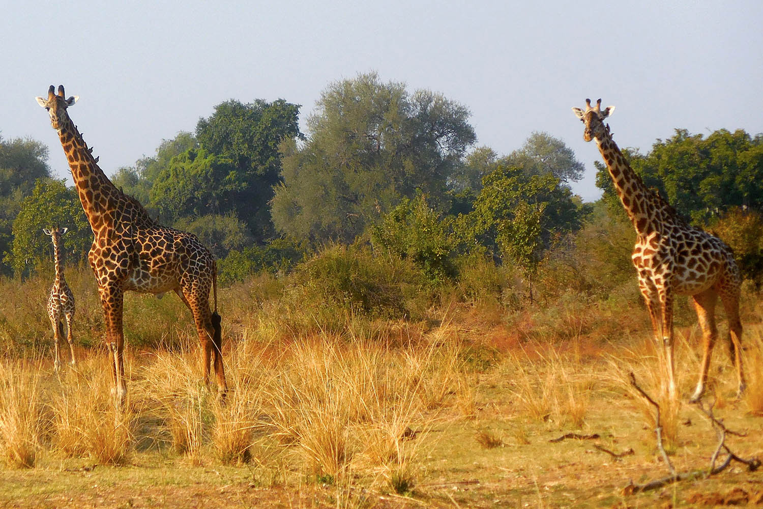 three rivers camp zambia-in-style-tours-travel-safari-packages-lodges-south-luangwa-giraffe