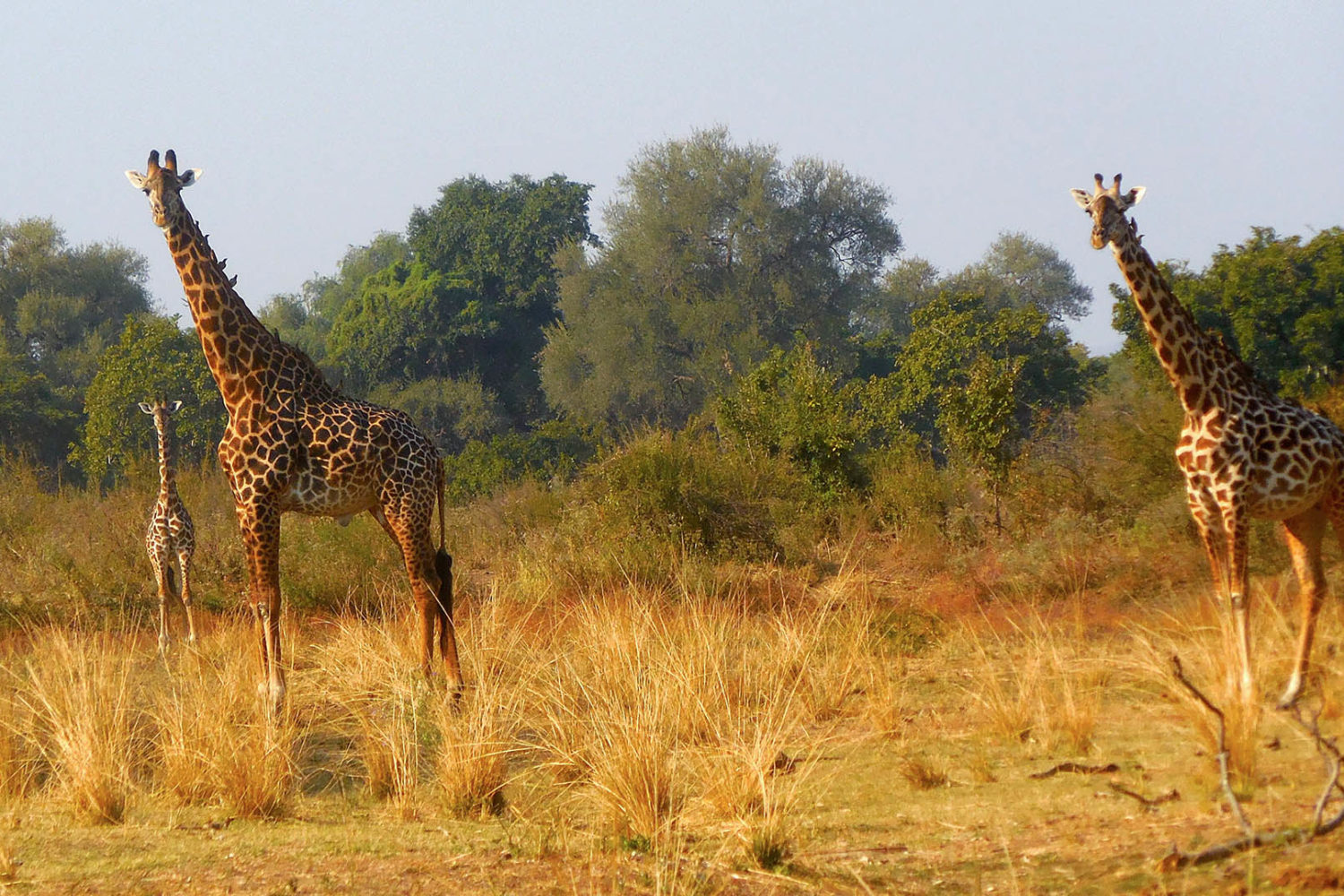 three rivers camp zambia-in-style-travel-safari-packages-lodges-south-luangwa-giraffe