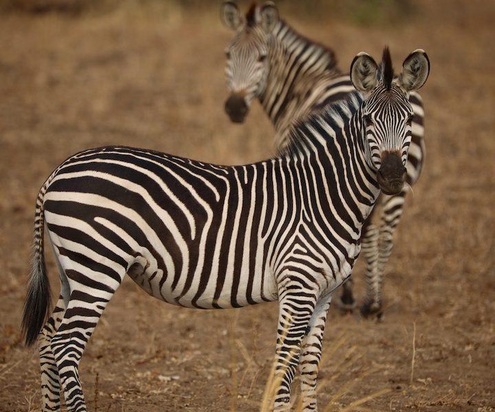 zebra, south luangwa