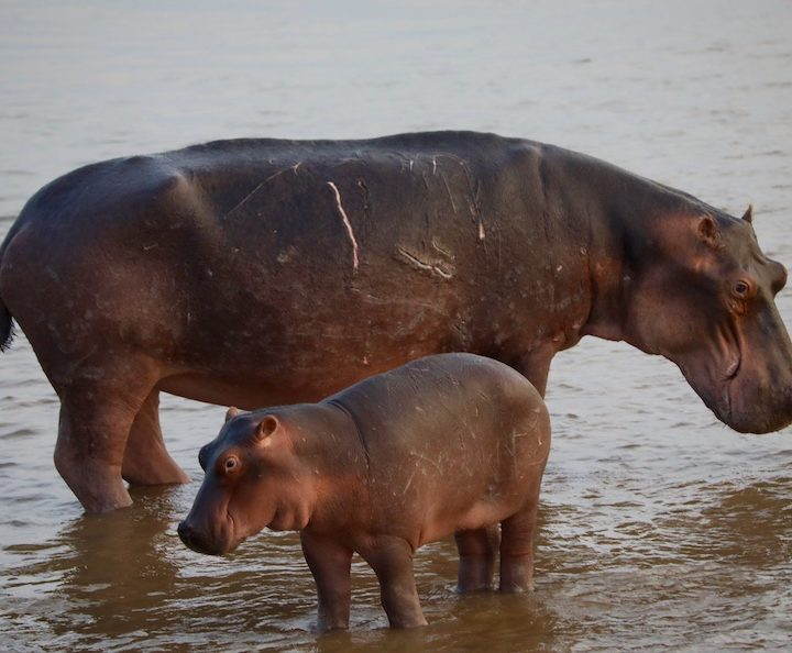 baby hippo south luangwa