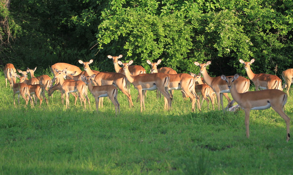 impala, south luangwa