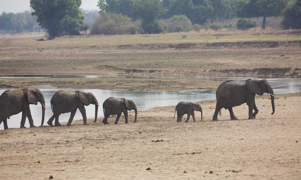 elephants on a walking safari