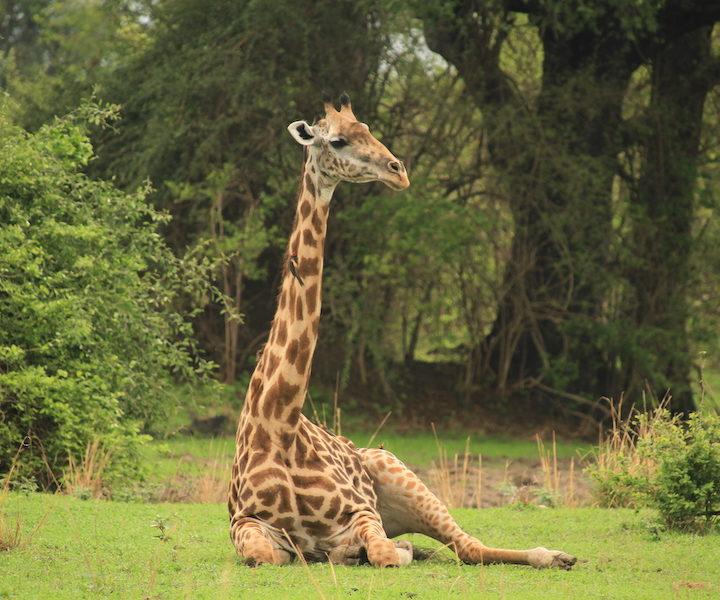 giraffe, south luangwa