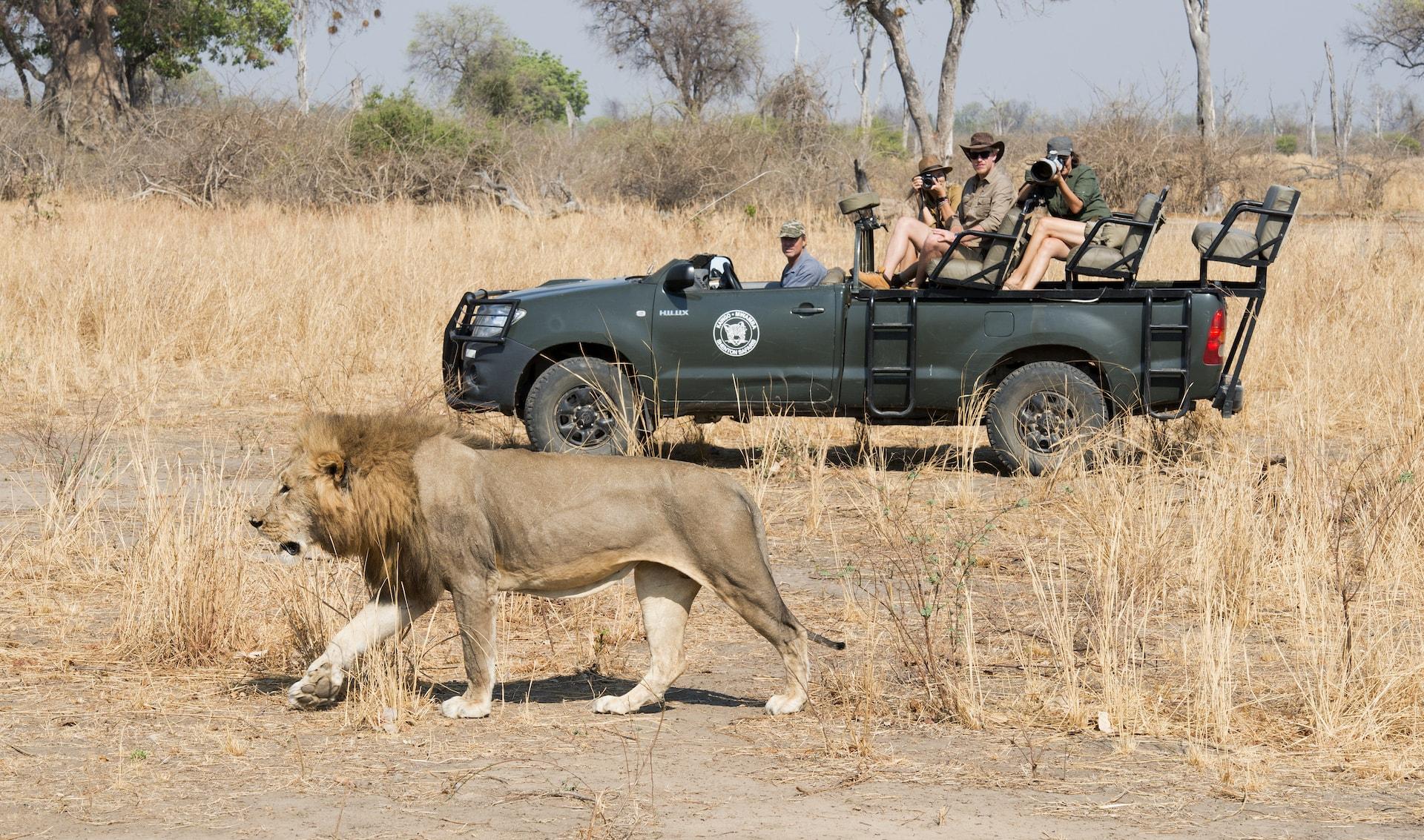 Shenton Safaris Game Drive.Lion-min