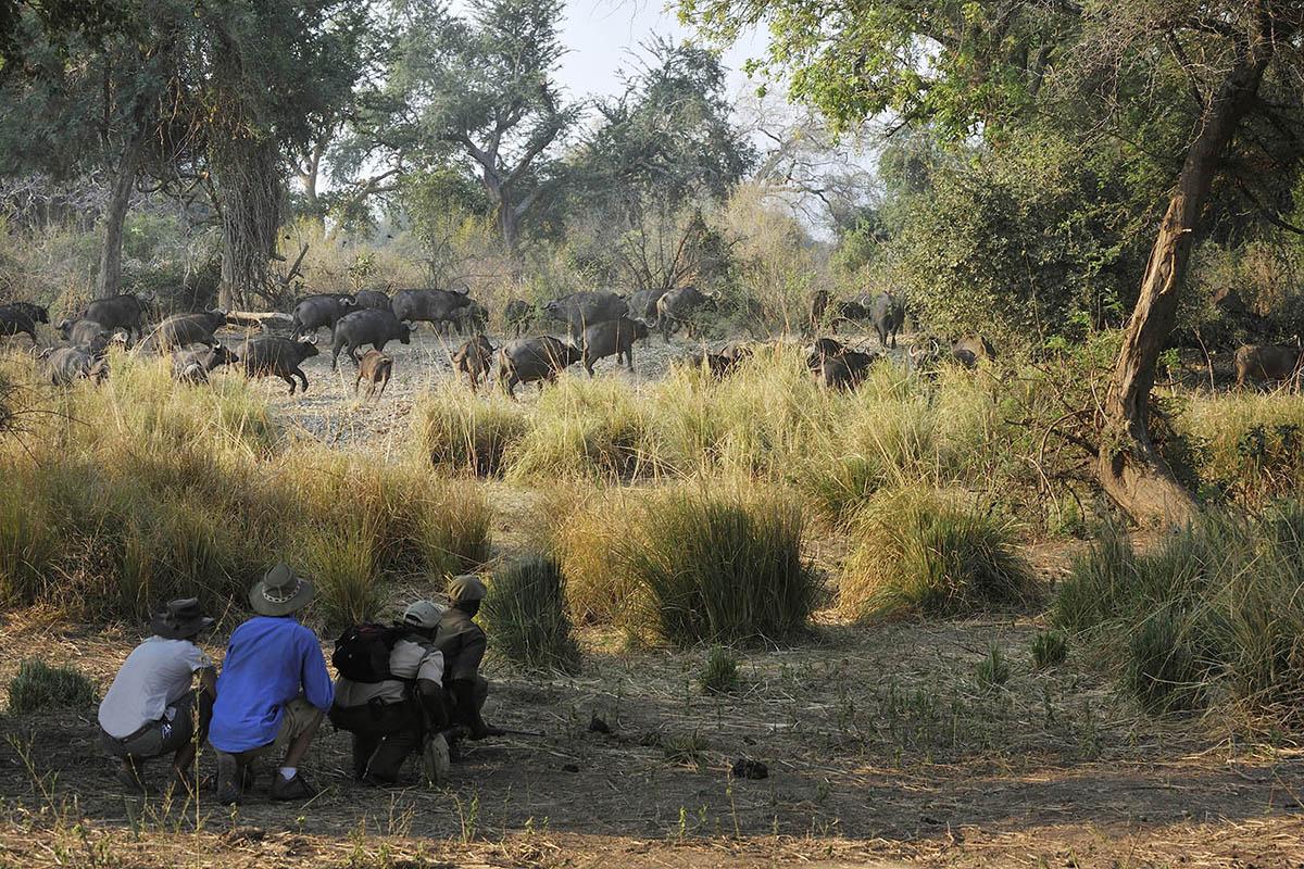 potato bush camp family-adventure-zambia-in-style-safari-packages-tours-lower-zambezi-walking-safaris-buffalo