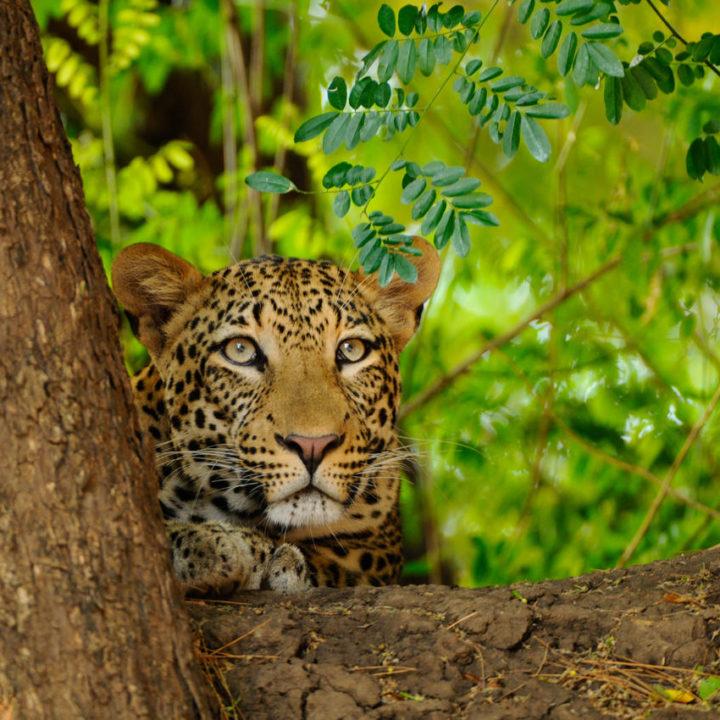 the royal zambezi zambia-in-style-safari-packages-lodges-lower-zambezi-adventure-wildlife-leopards