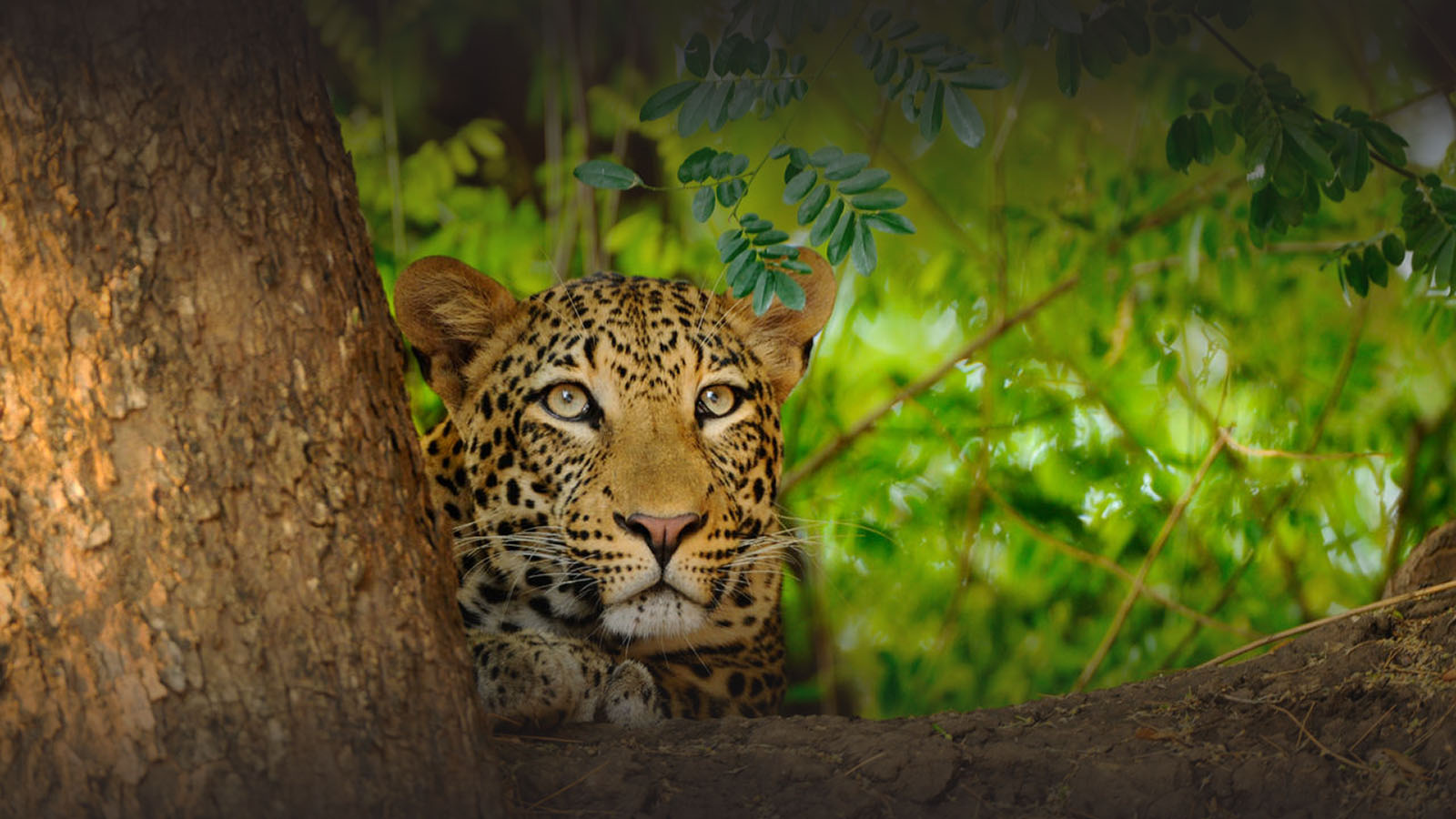 the royal zambezi zambia-in-style-safari-packages-lodges-lower-zambezi-leopard-wildlife