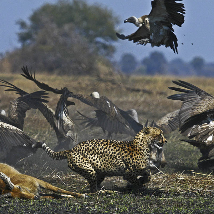 musekese camp lodge-zambia-in-style-safari-packages-lodges-kafue-national-park-cheetah-wildlife