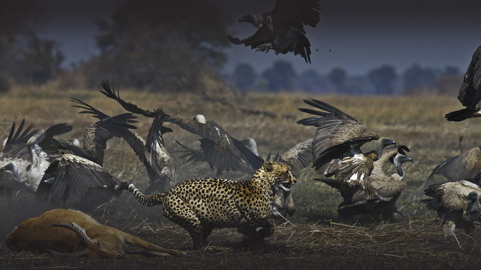 musekese-camp-lodge-zambia-in-style-safari-packages-lodges-kafue-national-park-conservation-cheetah-vultures
