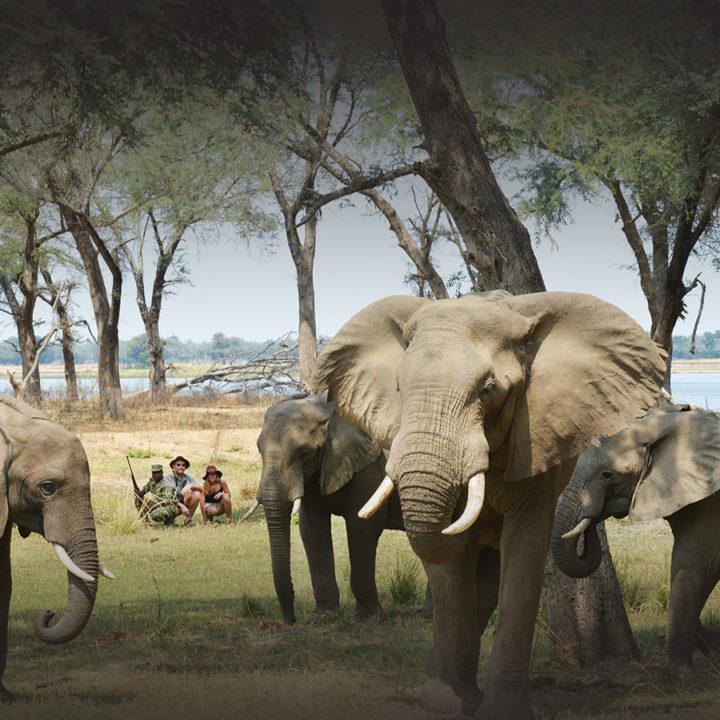 sausage tree camp lodge-zambia-in-style-safari-packages-lodges-lower-zambezi-national-park-guided-walking-safari-elephants