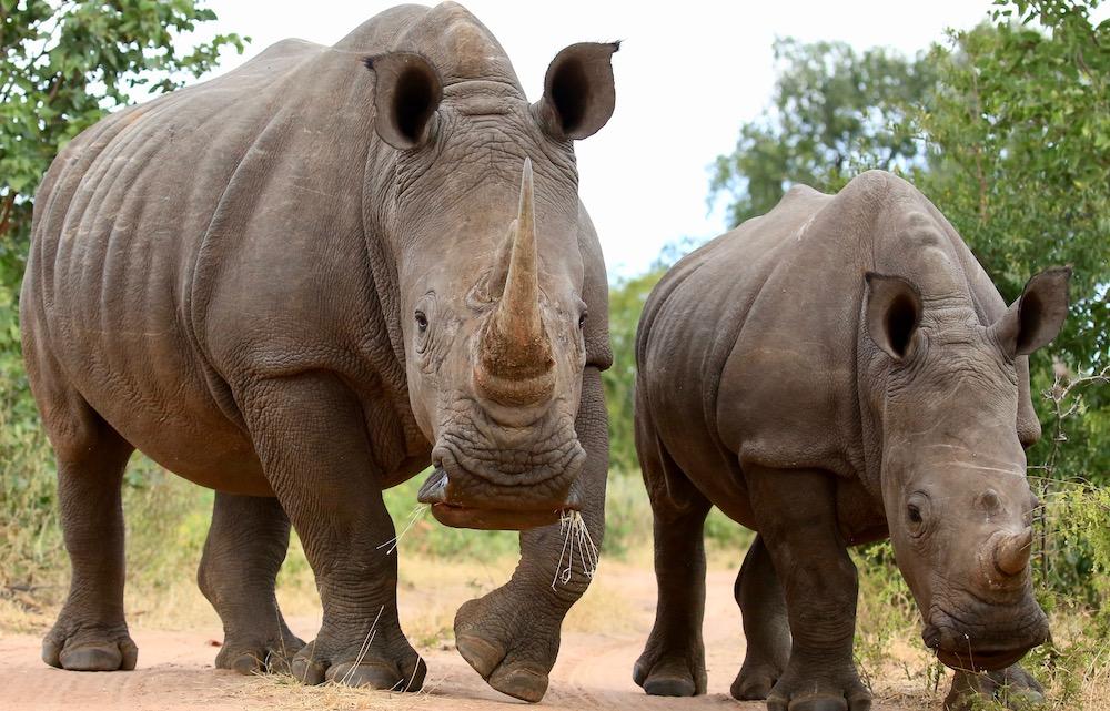 Rhino, Livingstone