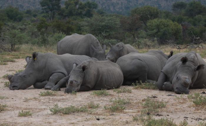 Rhinos, Zimbabwe