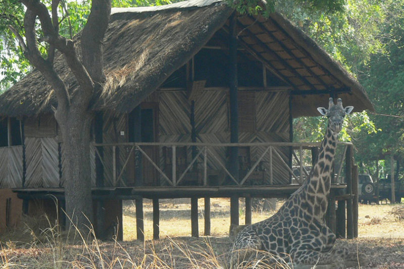 croc valley camp-zambia-in-style-tours-safari-lodges-south-luangwa-mfuwe-wildlife-giraffe-chalet